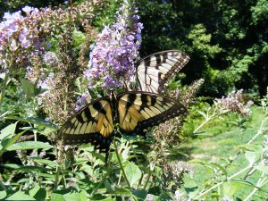 Aug Butterfly Swallowtail by Carol Keane