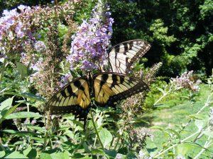 Aug Butterfly Swallowtail by Carol Keane