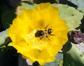 Carol Keane bee on yellow flower