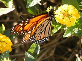 Carol Keane butterfly on yellow flower
