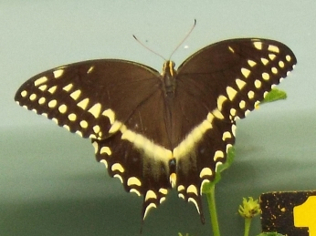 Sep Coastal Fatillary Butterfly Carol Kean