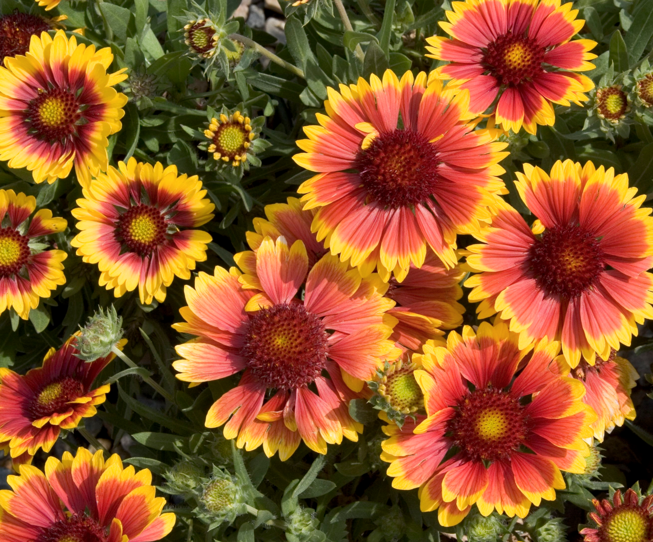 53 best Blanket Flower images on Pinterest Flower gardening Pictures of blanket flower