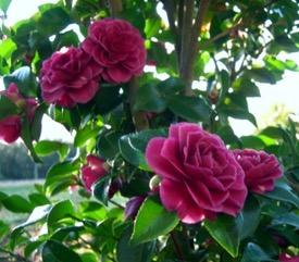 Camellia sasanqua Purple Haze